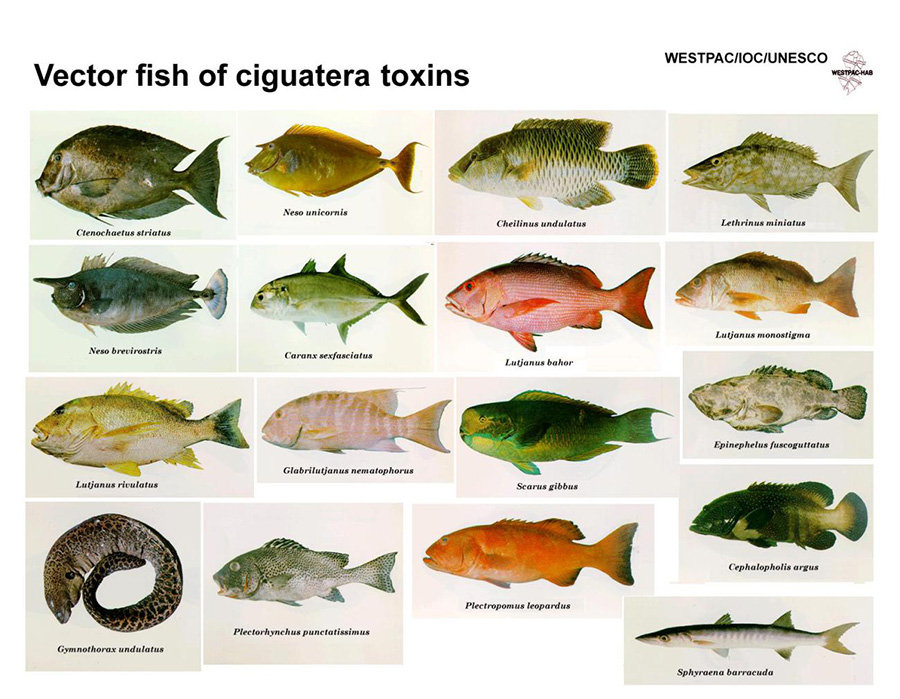 Canarias incluye a la ciguatera como enfermedad de for Variedad de peces