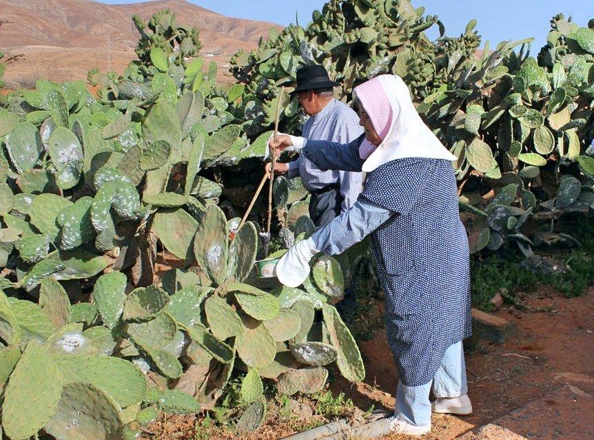 El PSOE solicita financiación específica para garantizar la producción de cochinilla