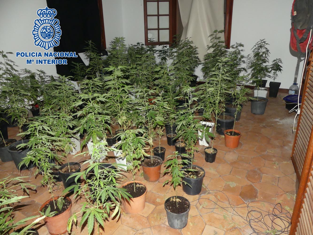 Nota de prensaLos agentes accedieron a un chalé usurpado, alertados de que un joven podía hallarse en peligro en su interior, y descubrieron una plantación indoor de 200 macetas de marihuana